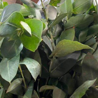 Eucalipto-manojo-paloquemao