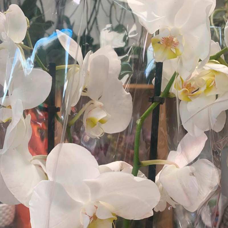 Orquidea-blanca-amarilla-matera-paloquemao