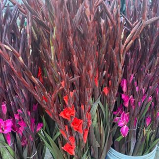 gladiolus-coloured-paloquemao