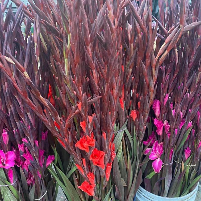 gladiolos-de-colores-paloquemao