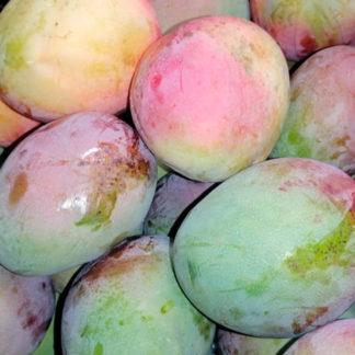 Mango-tommy-paloquemao