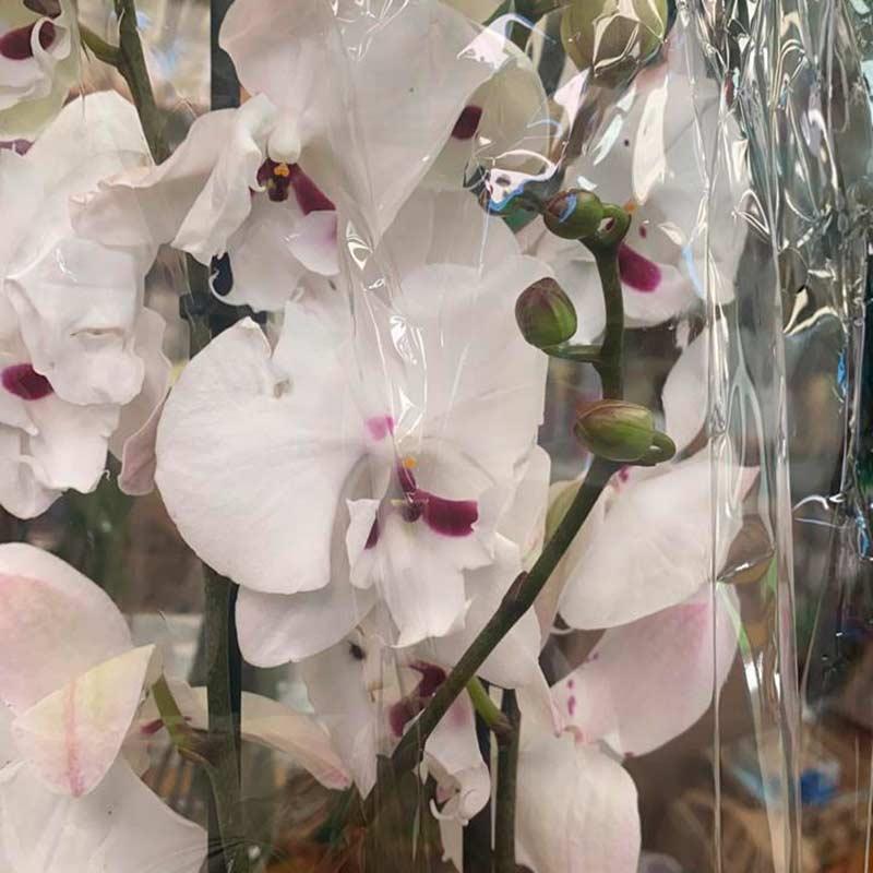 Orquidea-blanca-morada-matera-paloquemao