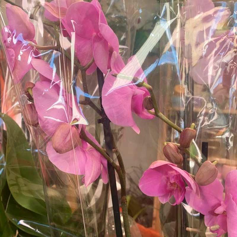 Orquidea-violeta-matera-paloquemao