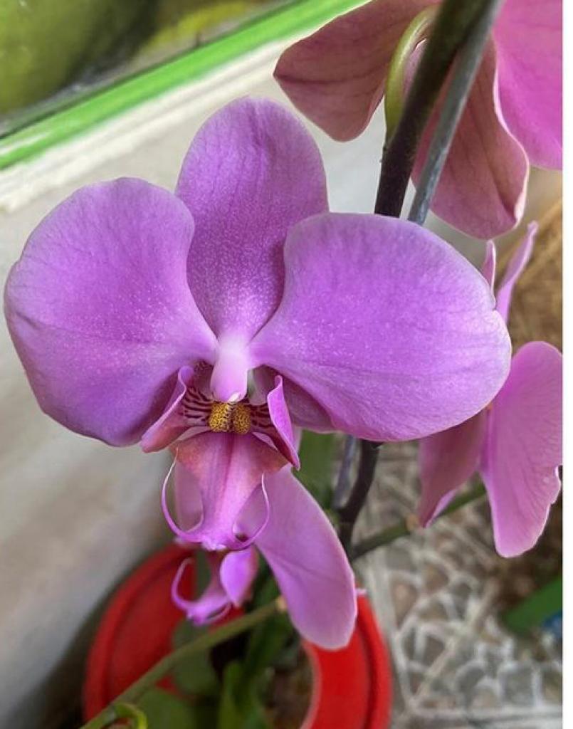 Orquídea - 2 varas