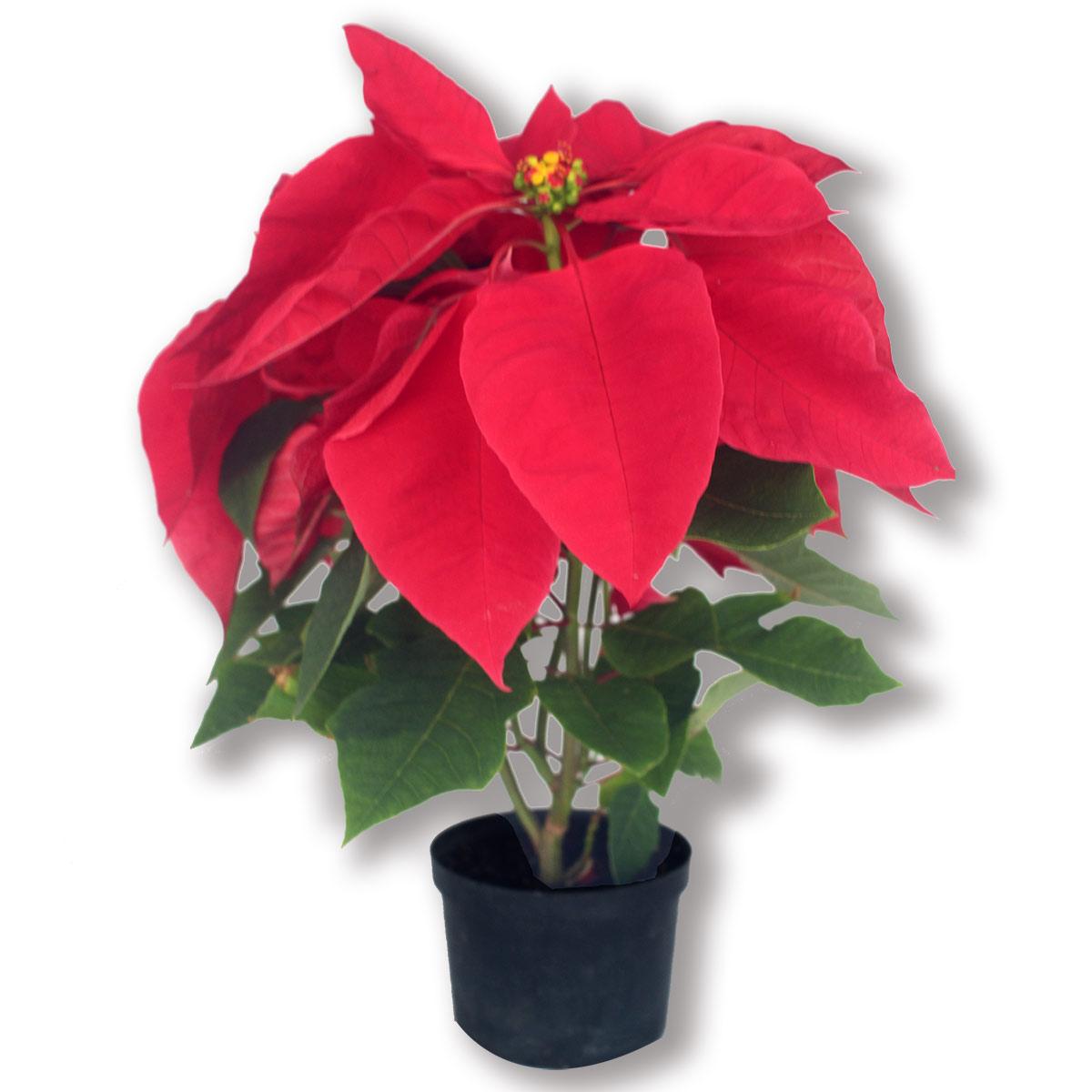 Flor de navidad, Poinsettias de color rojo tradicional