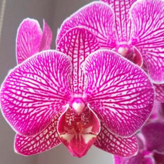 Orquídea - matera 2 varas