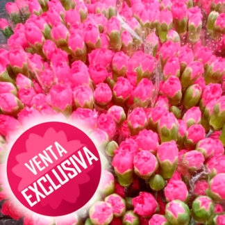 clavelina-paquete-venta-exclusiva