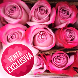Rosa rosada-venta-exclusiva